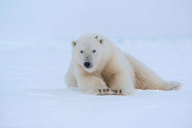чукотка арктика море медведь белый полярный морской мыс кожевникова \