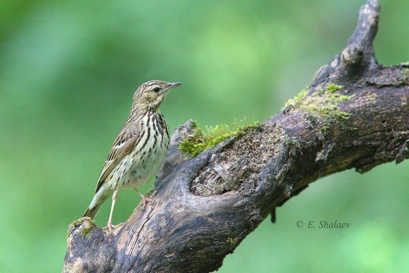 лесной конёк,anthus trivialis,birds,птица,птицы,фотоохота Лесной конёкphoto preview