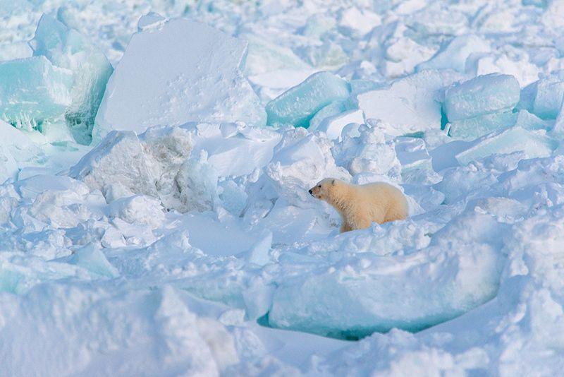 чукотка арктика море медведь белый полярный морской мыс кожевникова рыркайпий медвежонок Один...photo preview