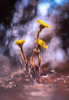 Цветет мать-мачеха