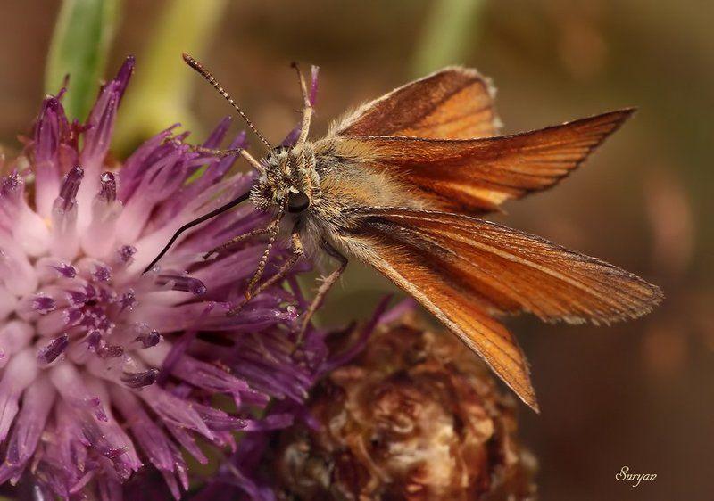 лето, трава, бабочка, толстоголовка Мне надо принять мои капли от головы… Нет, для головы…photo preview