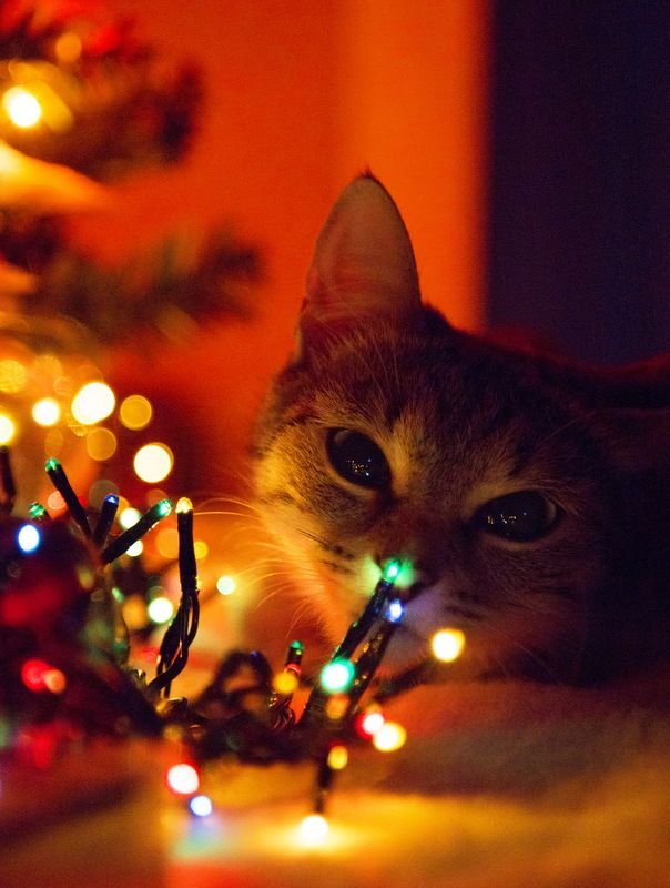 кошка, буська, животное, домашнее, новый год В ожидании Нового года!photo preview