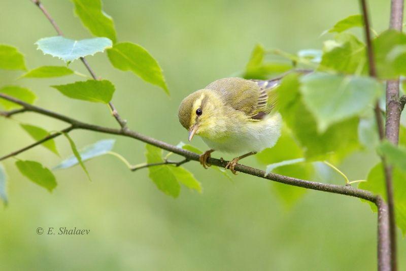 birds,phylloscopus sibilatrix,wood warbler,пеночка,пеночка-трещотка,птица,птицы,фотоохота \