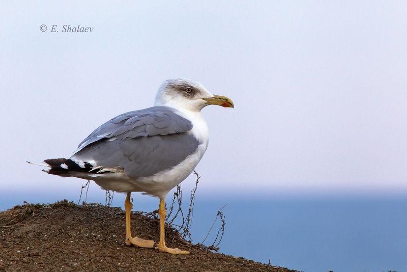хохоту́нья,степная чайка,larus cachinnans,birds,птица,птицы,фотоохота,чайка Опять штормитphoto preview