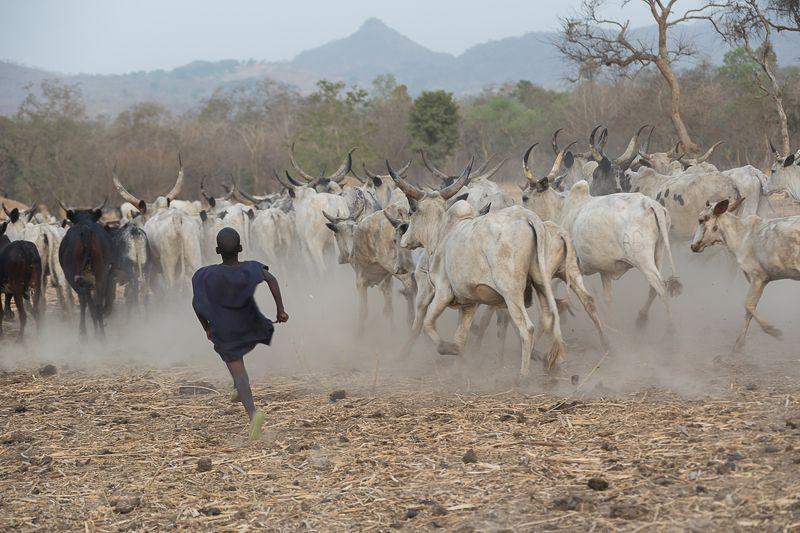 камерун, зебу, африка, дети Детствоphoto preview