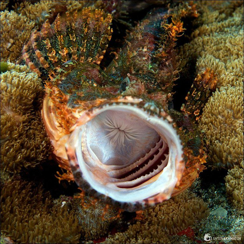 underwater, stonefish, sipadan А-А-Аphoto preview
