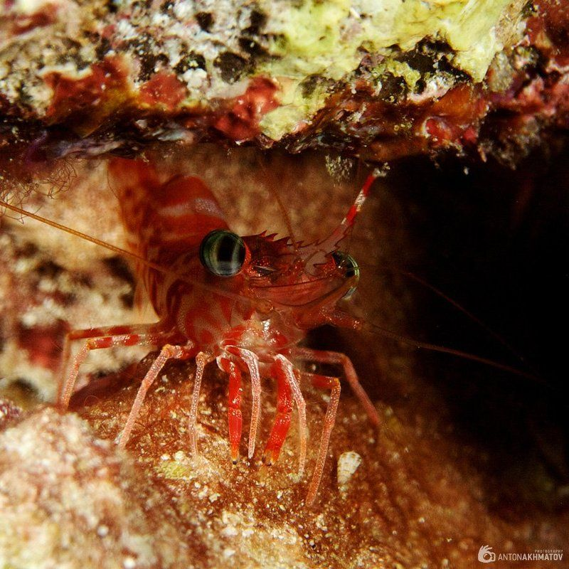 shrimp, underwater, similan islands, red Глазастыйphoto preview