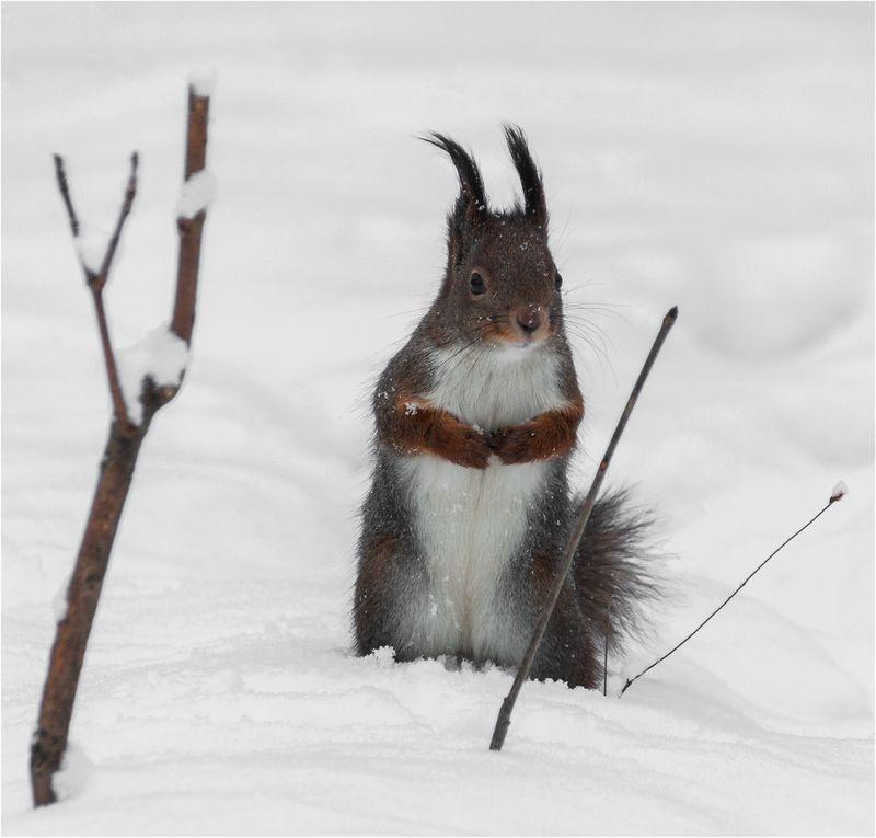 белка, зима, лес б/нphoto preview