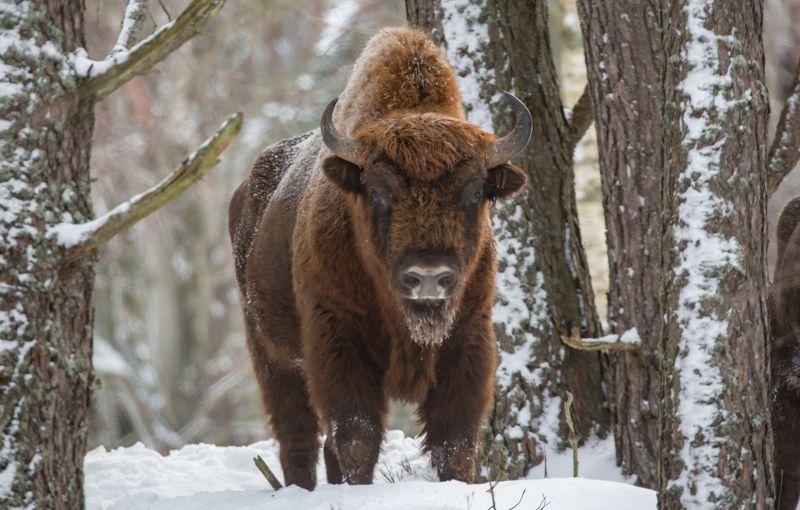 Зубр, или европейский зубр (лат. Bison bonasus)photo preview