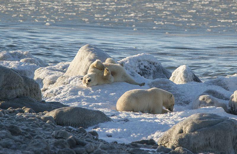 чукотка арктика море медведь белый полярный морской мыс кожевникова Южный берег....photo preview