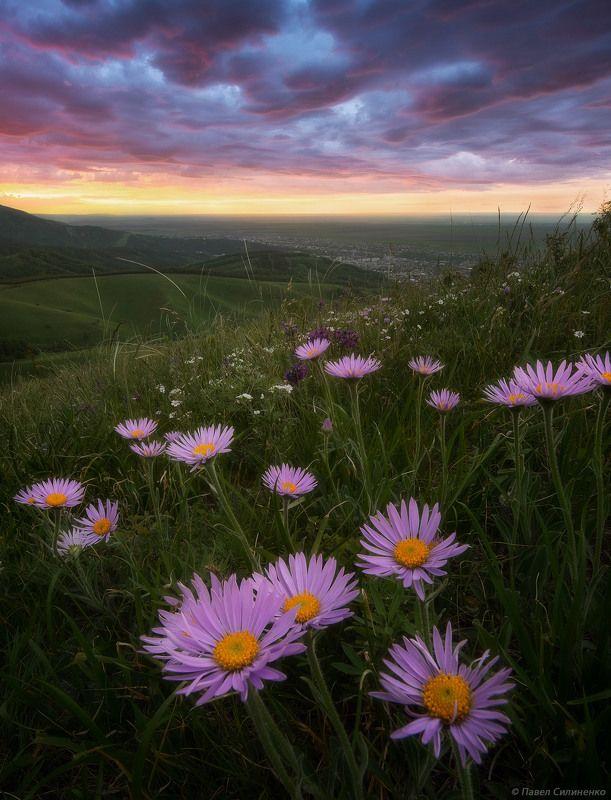 пейзаж, закат, цветы, небо, лето, астры, горы, алтай, белокуриха Летний вечерphoto preview