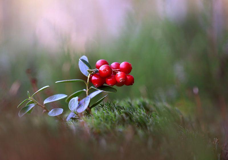 лес,болото,мох,ягода,брусника. Красна ягодка.photo preview