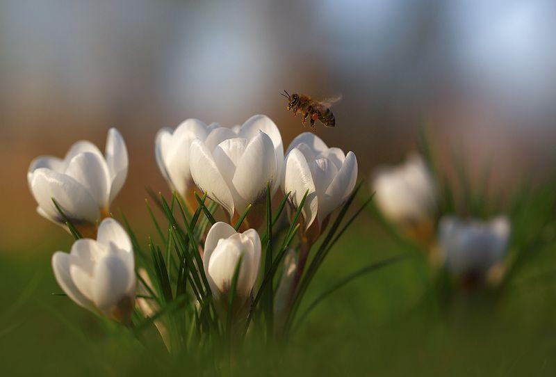 Парк,весна,цветы. Первые крокусы и пчелки.photo preview