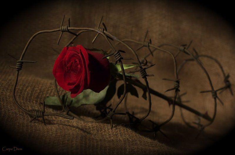роза, шипы, колючая проволока, конфликт Шипыphoto preview