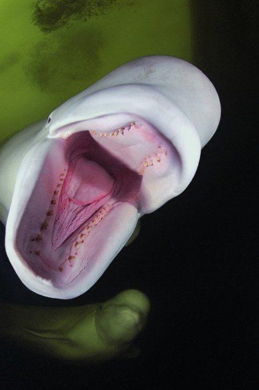 море белухи природа животные Синхронистыphoto preview