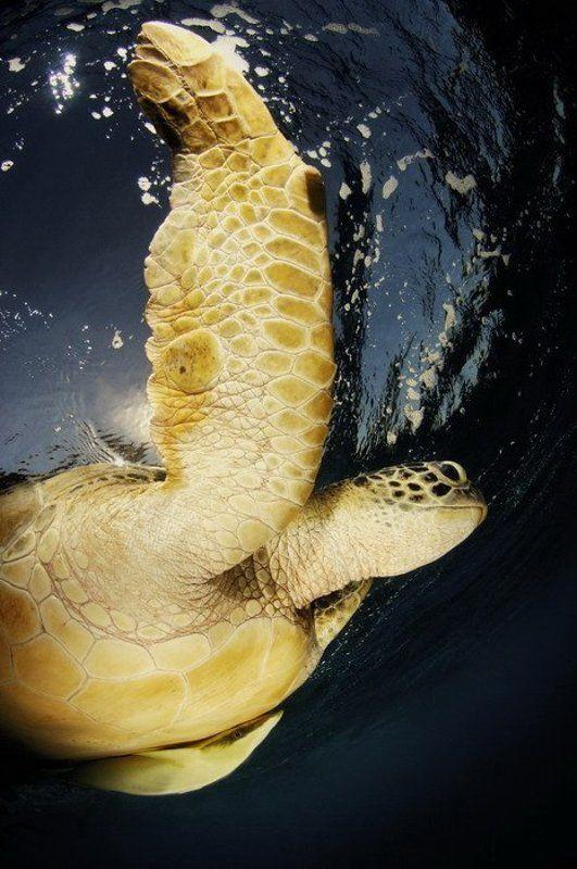 море, черепаха, животные, природа Полетphoto preview