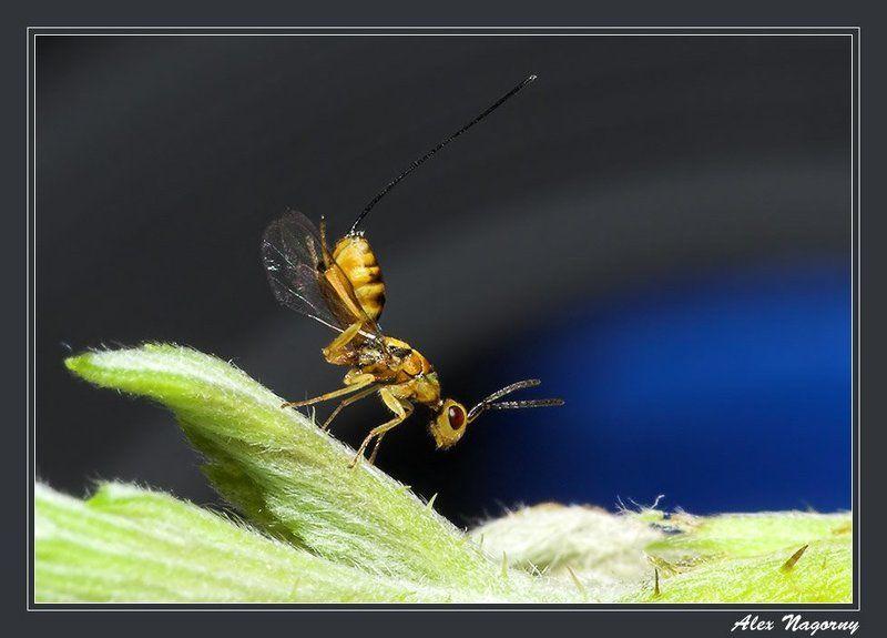 макро, фото, насекомые, перепончатокрылые, наездник, листик, небо Ручками потопали, ножками похлопали! :)photo preview
