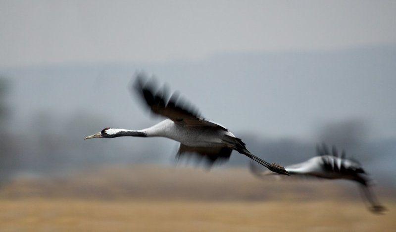 серый, журавль полеты на рассветеphoto preview