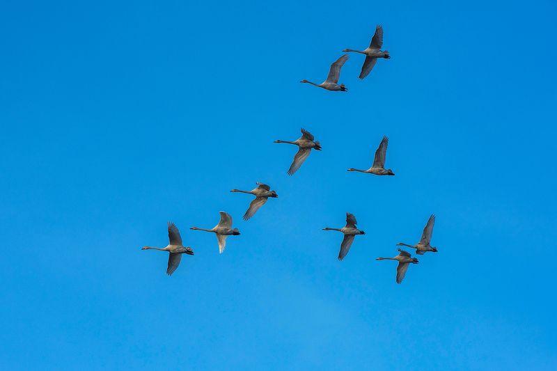 лебеди Дикие лебедиphoto preview