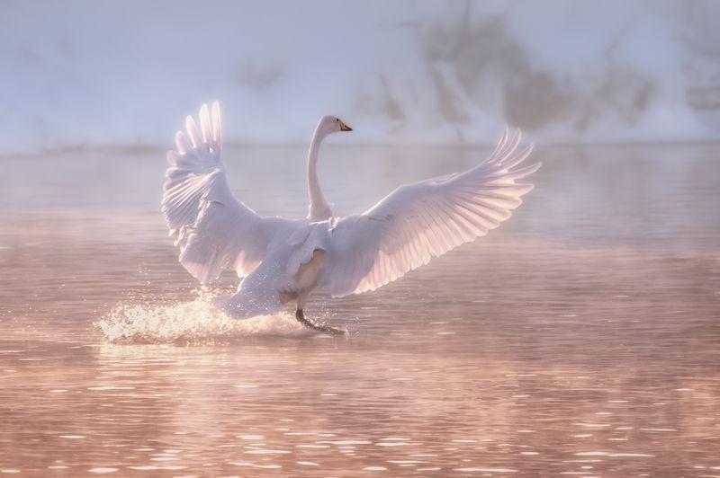 Лебедь, Озеро, Лебединое Танец на водеphoto preview