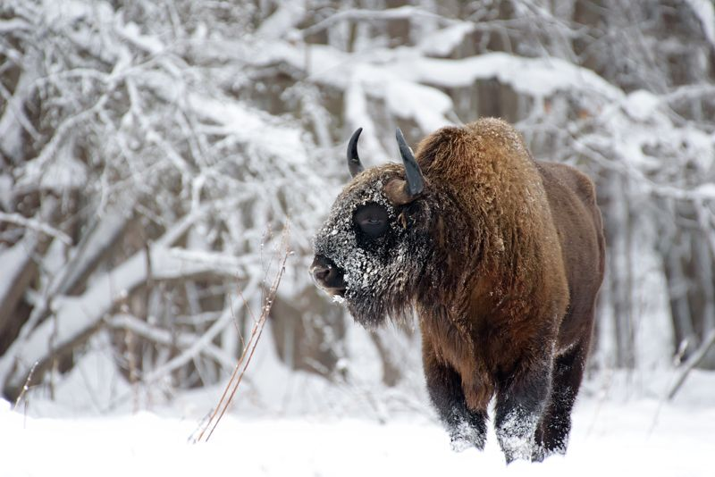 зубр, калужские засеки, зима, дикая природа, nature, european bison, bison, winter, animal Задумалсяphoto preview