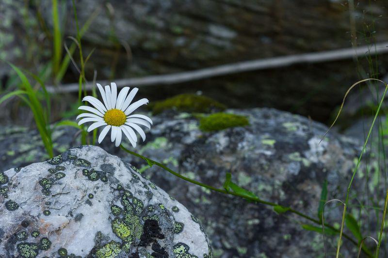 Природа, лес, растения, цветы, поповник, камни, лишайник на камне Среди камнейphoto preview