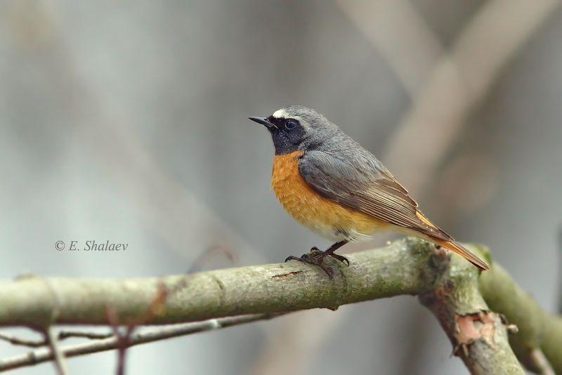 обыкновенная горихвостка, phoenicurus phoenicurus,birds,птица,птицы,фотоохота Горихвостphoto preview