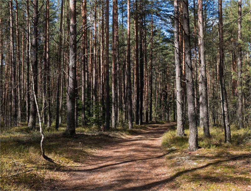 лес, деревья, тропа Шишкинские мотивы Беларусиphoto preview