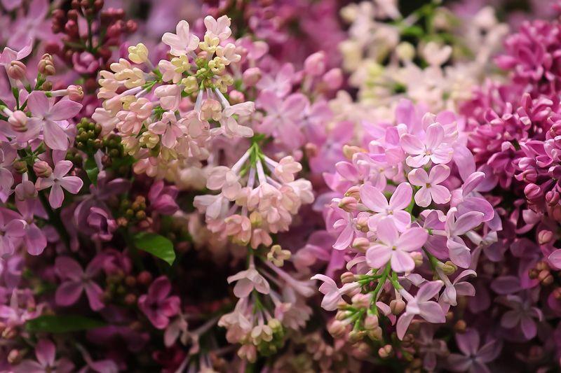 сирень, lilac Сиреньphoto preview