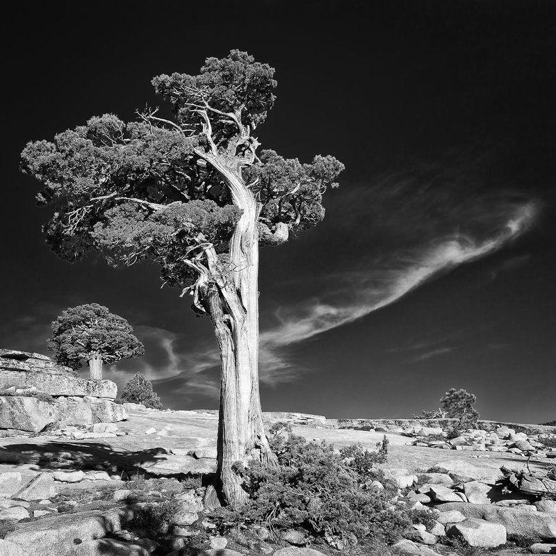 yosemite, juniper, tree ***photo preview