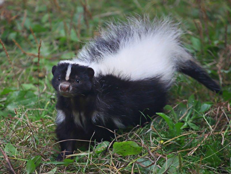 skunk, скунс, животные, animals Скунсphoto preview