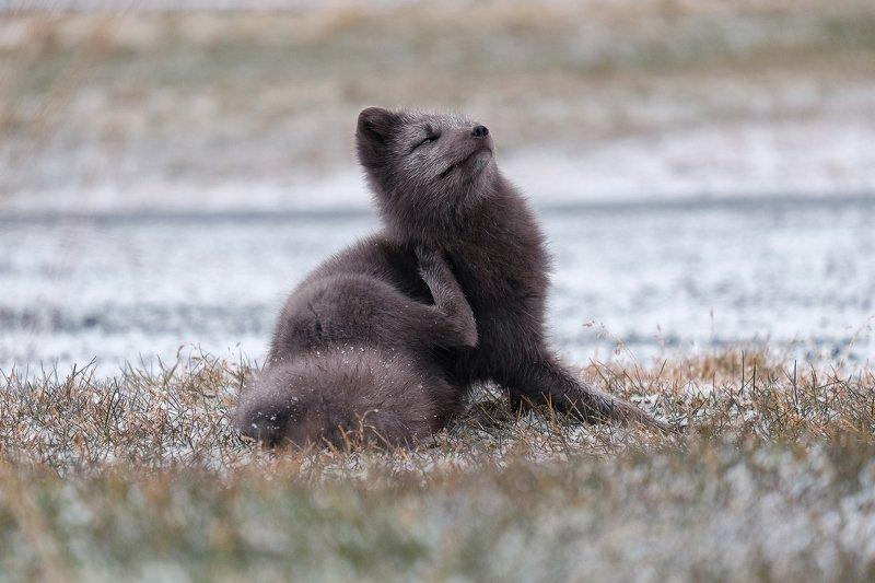 arctic fox, fox, animal, iceland, winter Arctic foxphoto preview