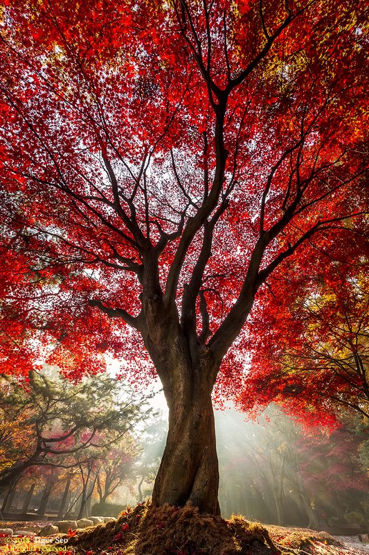 tree red autumn ray sun light leaf Red treephoto preview