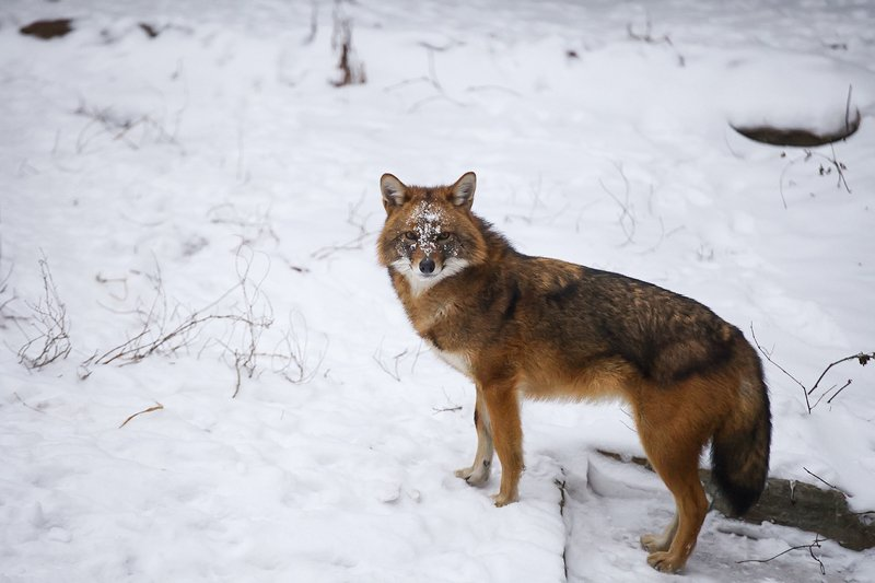 животные, волк, animals, wolf Волкиphoto preview