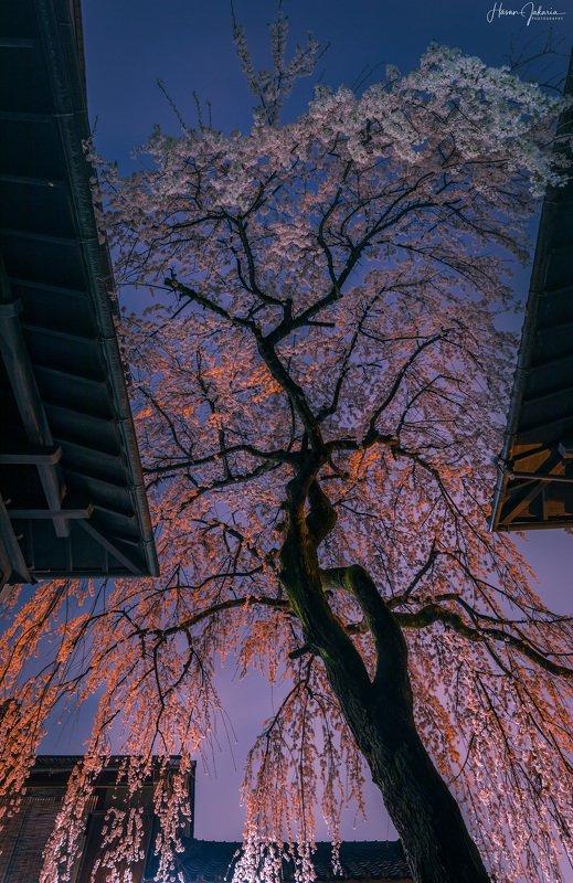 cherry blossom night sakura kyoto japan lights nightscape long exposure Cherry Blossoms at Rainy Night.photo preview