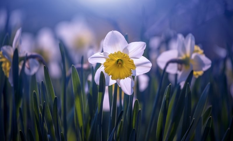 daffodil flower blossom spring white yellow light  daffodilphoto preview