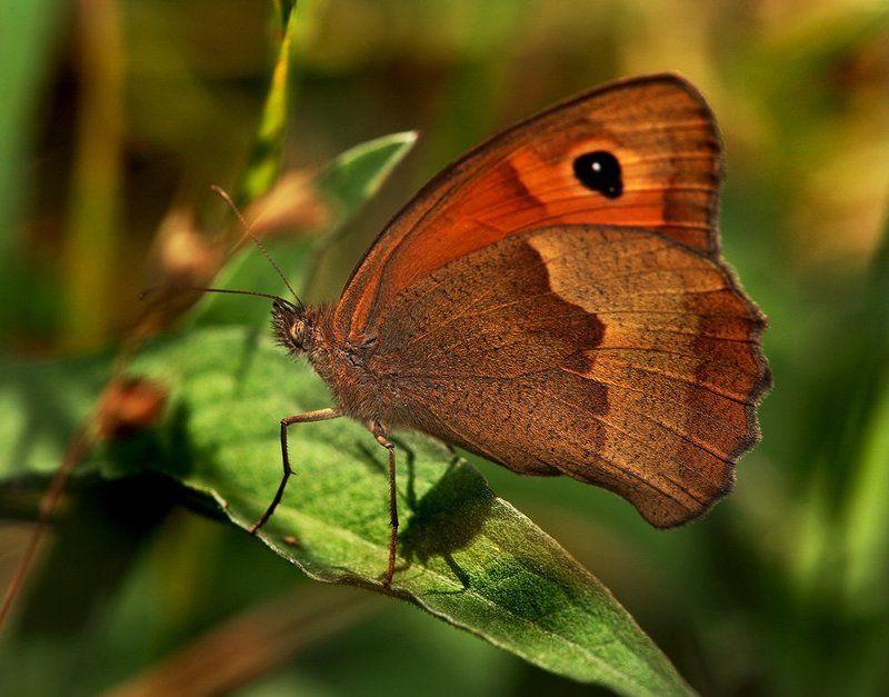 лето, бабочка, трава Пардон, мадам, я нынче непобритый.photo preview