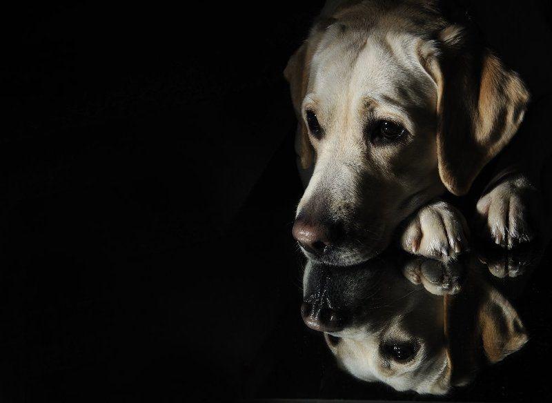лабрадор, собаки Льюис Керролл о собаках ничего не писал...photo preview