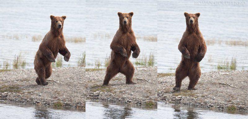 roman, golubenko, grizzly, bear, alaska Высокий мужчина в самом расцвете сил желает познакомиться / Wanna dance with me Alaska stylephoto preview