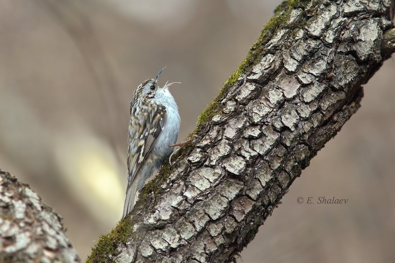 birds,certhia familiaris,eurasian treecreeper,обыкновенная пищуха,птица,птицы,фотоохота Солист больших и малых..photo preview