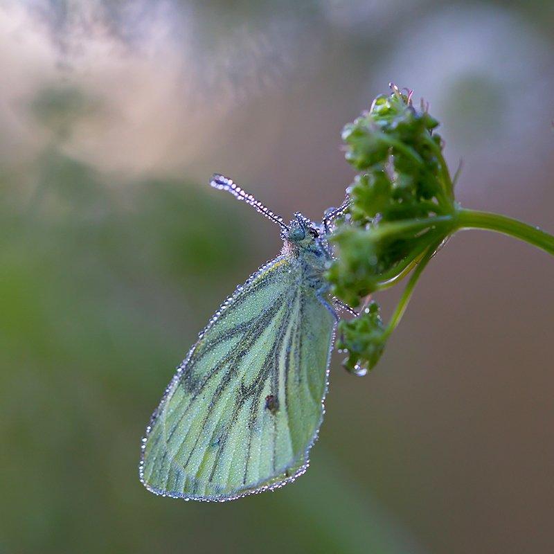 бабочка, насекомое, макро, роса, природа, утро Утро, умытое росойphoto preview