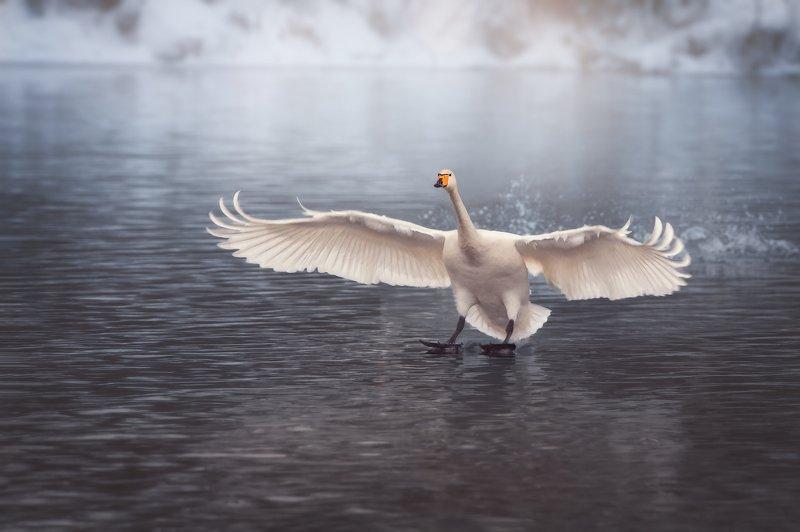 Лебедь, Лебедь-кликун, Озеро Светлое, Алтай Белый веер крыльевphoto preview