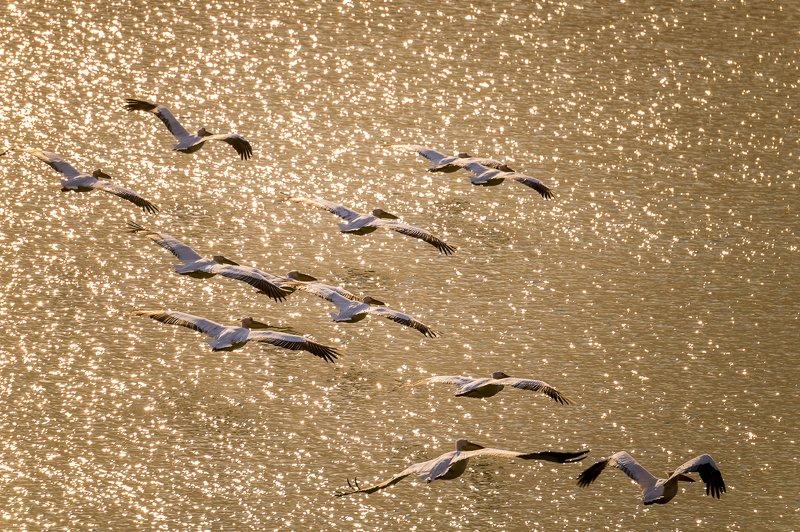 казахстан, река, или, дельта, пеликан, розовый пеликан, pelecanus onocrotalus, Пеликаны прилетели!photo preview