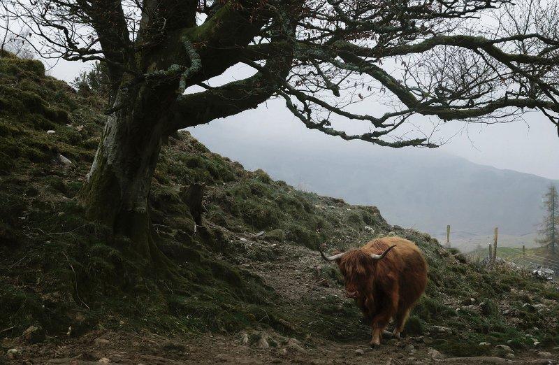 шотландия, пейзаж, туман, коровы, трэвел, путешествие Highland cowsphoto preview