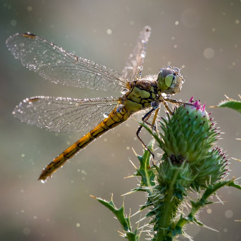 утро, стрекоза, роса, макро, боке, нежность Хрустальные крылышкиphoto preview
