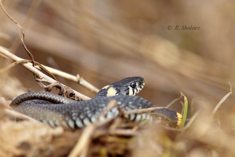 обыкновенный уж,уж,змея,рептилия,фотоохота, Обыкновенный ужphoto preview