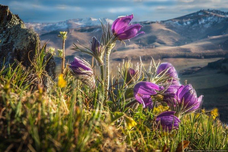 #алтай #алтайскийкрай #весна #сонтрава #прострел #сибирь #природаалтая #цветы #первоцветы Сон-трава и Коргонский хребетphoto preview