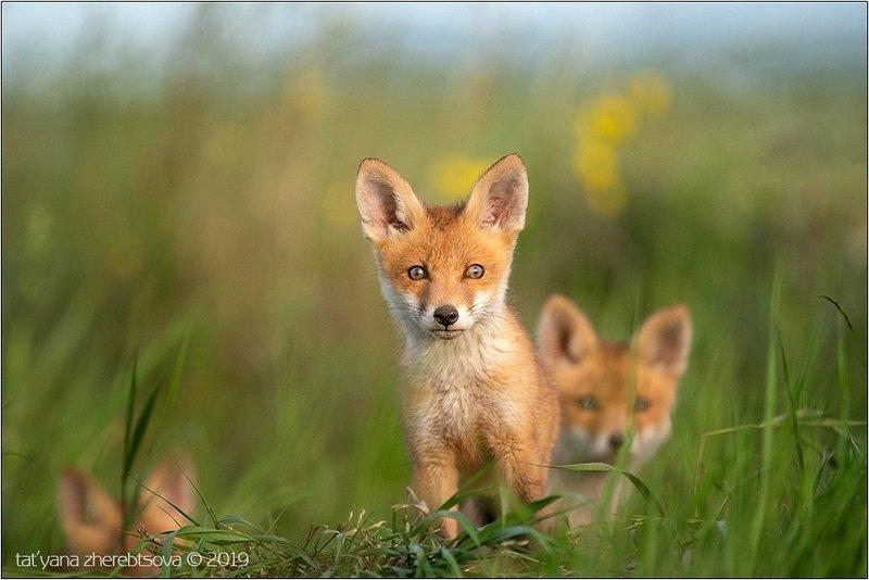 my-mriya, fox Лисятаphoto preview