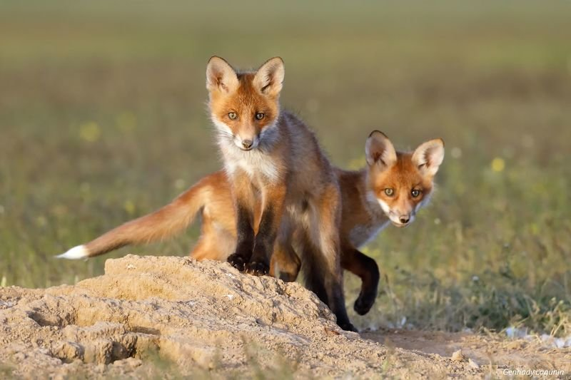 fox Двое из ларцаphoto preview