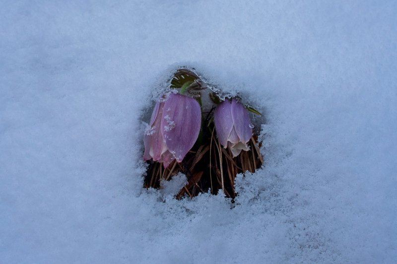 pulsatilla, прострел, сон-трава, подснежник, горы, первоцвет, снег, рамка Нежностьphoto preview